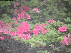 20060523tsutsuji01