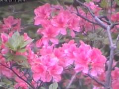 20060523tsutsuji02