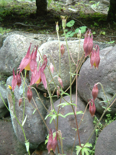 20060616flower02