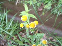 20060616flower03