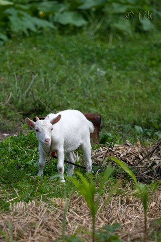 20080810azuki_goat