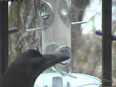 crow01